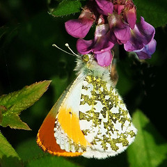 Orange tip butterfly by Tina Negus (via Flickr Creatiev Commons)