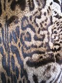 Ocelot fur coat by Kürschner, via Wikimedia Commons